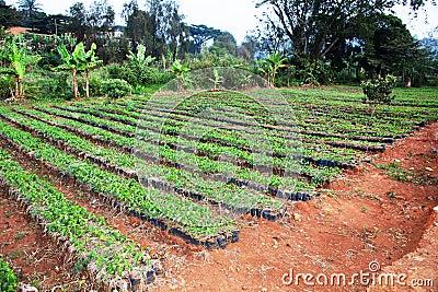 Large African coffee nursery