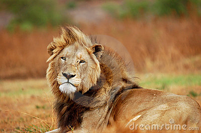 Large African Male Lion