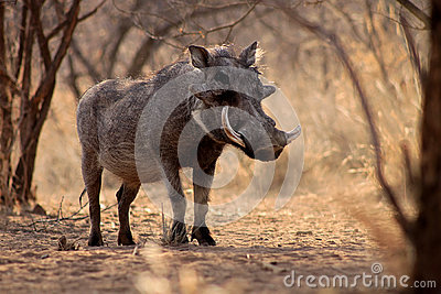 Large Alert Warthog Male