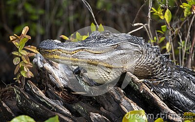 Large Alligator Portrait showing teeth and scales