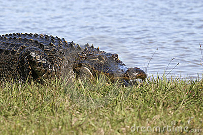 Large alligator on shoreline