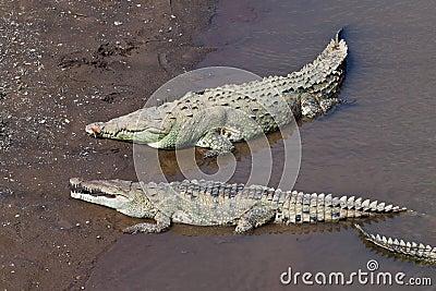 Large American Crocodiles