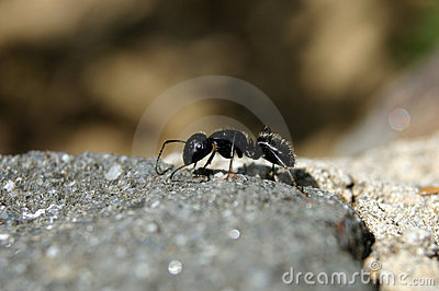 Large Ant