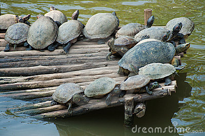 Large Aquatic Turtles