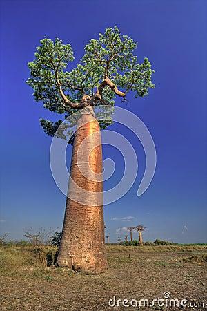 Large Baobab