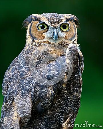 Free Large Barn Owl Stock Image - 15624731