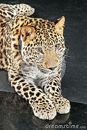 Large beautiful leopard