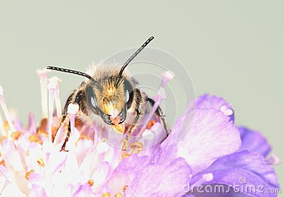 The large bee