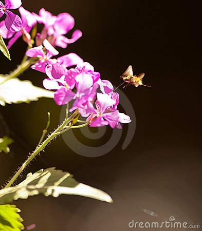 The large Bee Fly