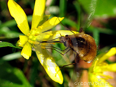 Large bee fly (Bombylius major)