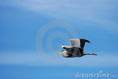 Large bird flying in blue sky