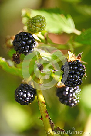 Free Large Black Berries Garden Blackberries, Growing A Brush On The Background Of Green Foliage On The Branches Of A Bush. Stock Photography - 59091132