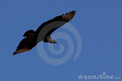 Large black bird flying