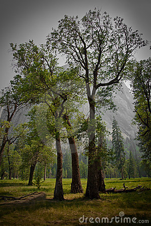 Large black oak trees in Yosemite Valley meadow