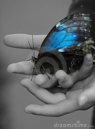 Large Blue Butterfly In Child s Hand Royalty Free Stock Photo