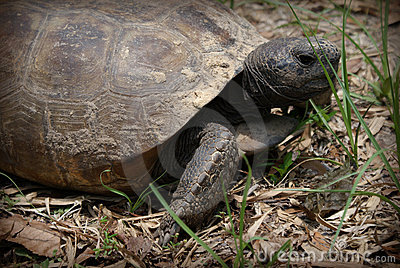 Large box turtle