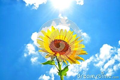 Large, bright flower sunflower