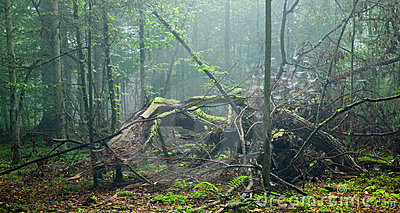 Large broken tree lying in misty forest
