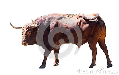 Large bull, isolated over white