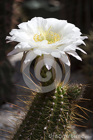 Large Cactus flower
