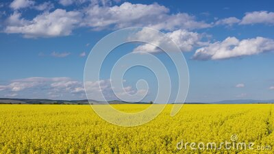 Large canola field in bright sunshine - time lapse stock footage