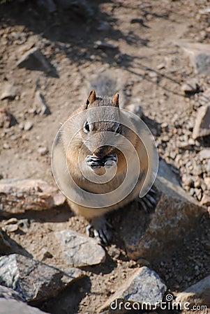 Large Chipmunk
