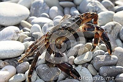Large crab on beach close-up