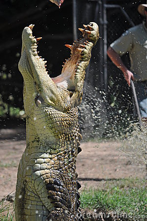 Large Crocodile Jumping Out of Water with Jaws Ope