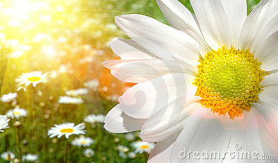 Large daisy in a sunlit field