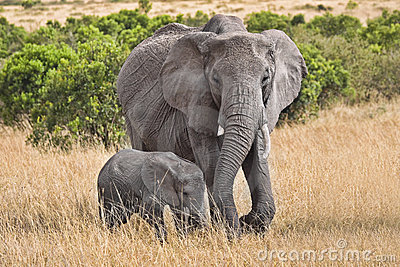 Large elephant with baby