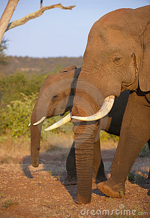 Large elephant bull with calf