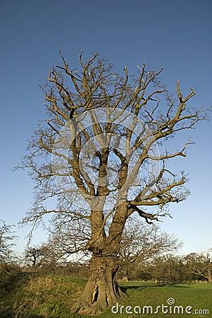 Large English Oak