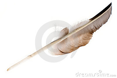 Large feather on white