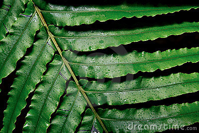Large fern leaf
