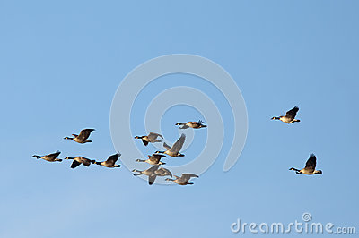 Large flock of geese.