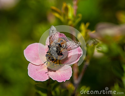 Large fly on a pink flower Stock Photo