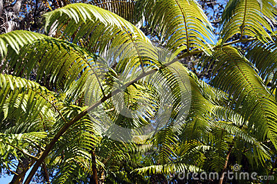 Large fronds of a fern tree