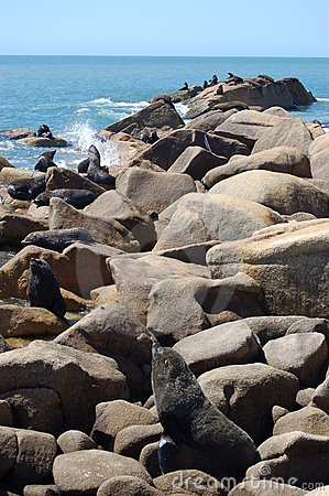 Large Fur Seal colony