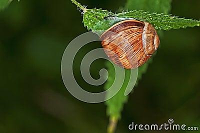 Large garden snail, Helix pomatia