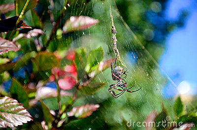 Large garden spider in a web with bugs