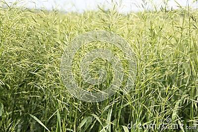 Large green grass