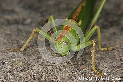 Large green grasshopper (Tettigonia viridissima)