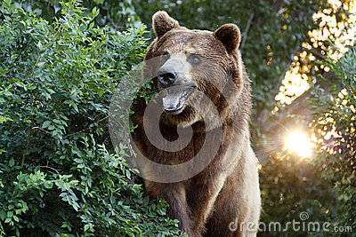 Large Grizzly Bear with setting Sun and Heavy Foil