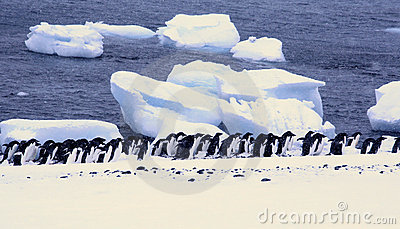 Large group of Adelie penguins