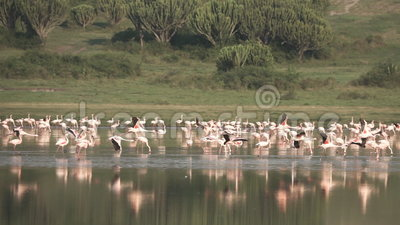 Large Group of pelicans in slow motion Stock Photo