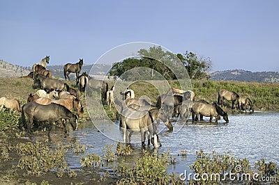 Large group of wild horses