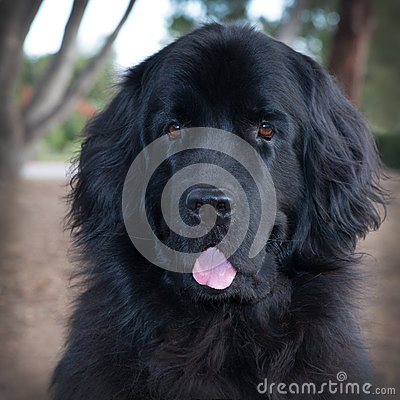 Free Large Head Shot Of Black Newfoundland Dog With Tongue Hanging Out. Stock Images - 88736904