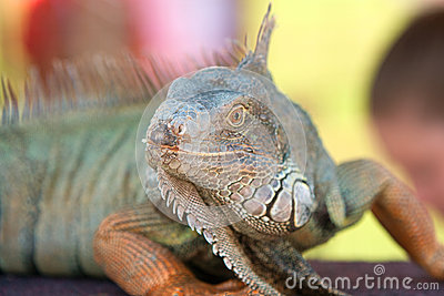 Large Iguana On Display At Wildlife Show