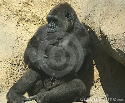 The large image of a sitting gorilla coastal