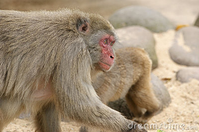 The large image of a small brown monkey